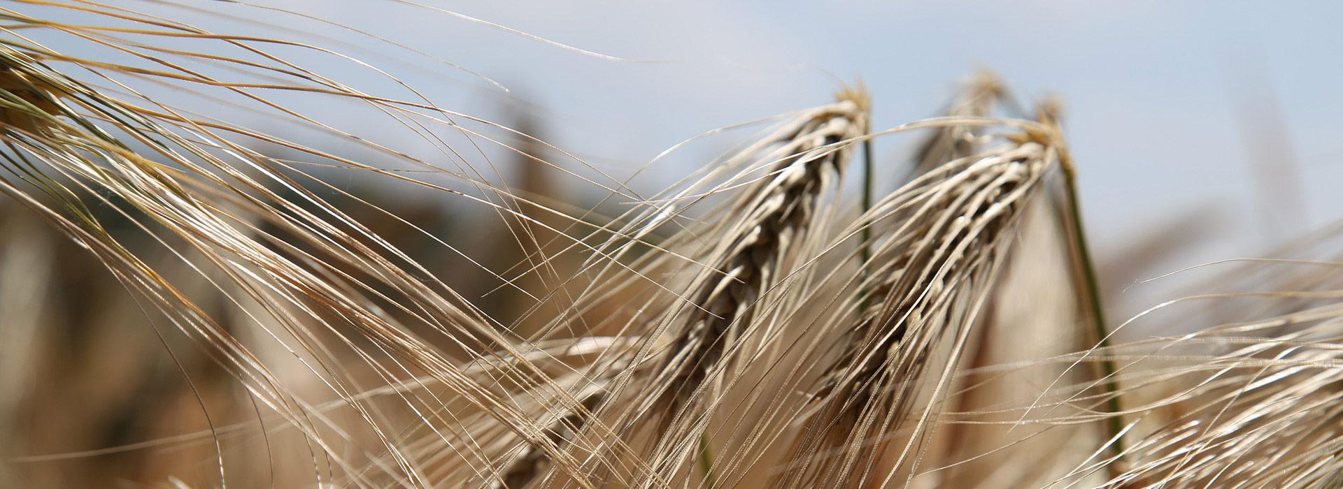 Dossier : Les intérêts et limites du sans Gluten - 1ère partie