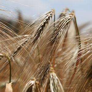 blé dossier gluten miramar crouesty
