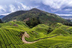 Les bienfaits du thé - plantation de thé